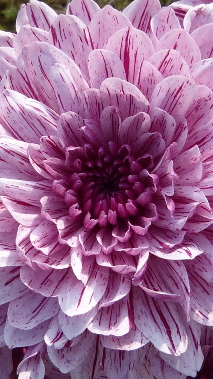 Purple Blooming Dahlia Wallpaper iPhone, Android