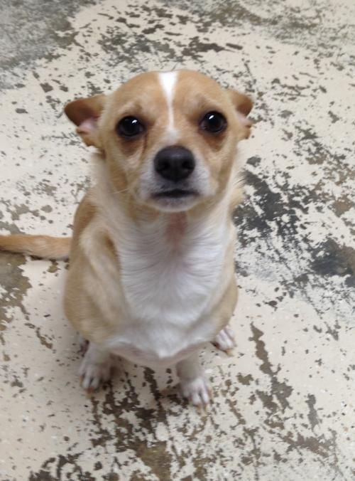 Baby - URGENT - STANLY COUNTY HUMANE SOCIETY in Albemarle,NC - ADOPT OR FOSTER - 1 year old Neutered Male Chihuahua Mix - EST DOB Nov. 15, 2015 - Baby came to us with a serious attitude but, with love and patience, has turned into a special little guy. He still hates a leash and will do best where he can run in a fenced yard. He's can be snippy with strangers but with his person he loves to be held and even gives kisses. He's a happy pup. I had a hard time getting him to be still for a…