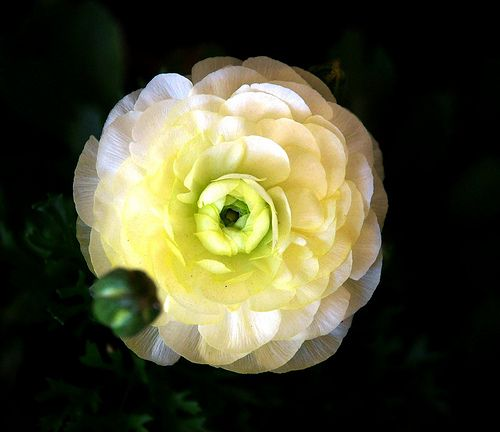 Image detail for -Ranunculus Flowers - Pictures & Meanings - Ranunculus Wedding Flowers