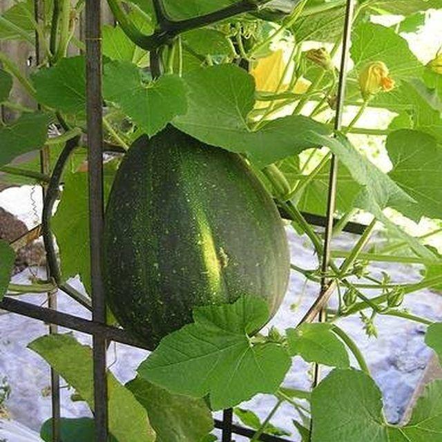 25 best ideas about pumpkin trellis on pinterest for Best pumpkins to grow