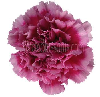good selection of carnation colors - Carnation Flower Colors