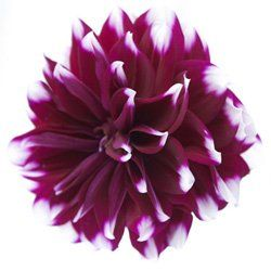 Best 25 Dahlia wedding flower photos ideas on Pinterest Dahlia