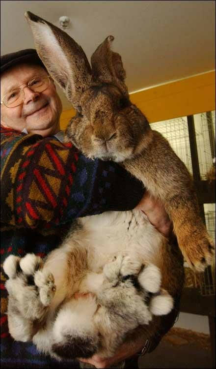 Now THAT'S an Easter Bunny! ~ He weighs in at 22 lbs. & measures a tad over 3 feet. He's a breed of rabbit called German giant (how appropriate!). His owner, Hans Wagner is struggling to hold him up! (Look at those FEET!)