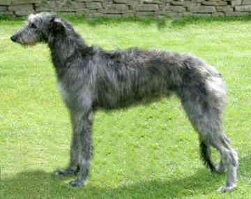 Scottish Deerhound - Someday, when I have more time to devote to a dog...