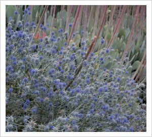 Eryngium ovinum   Lambley Nursery