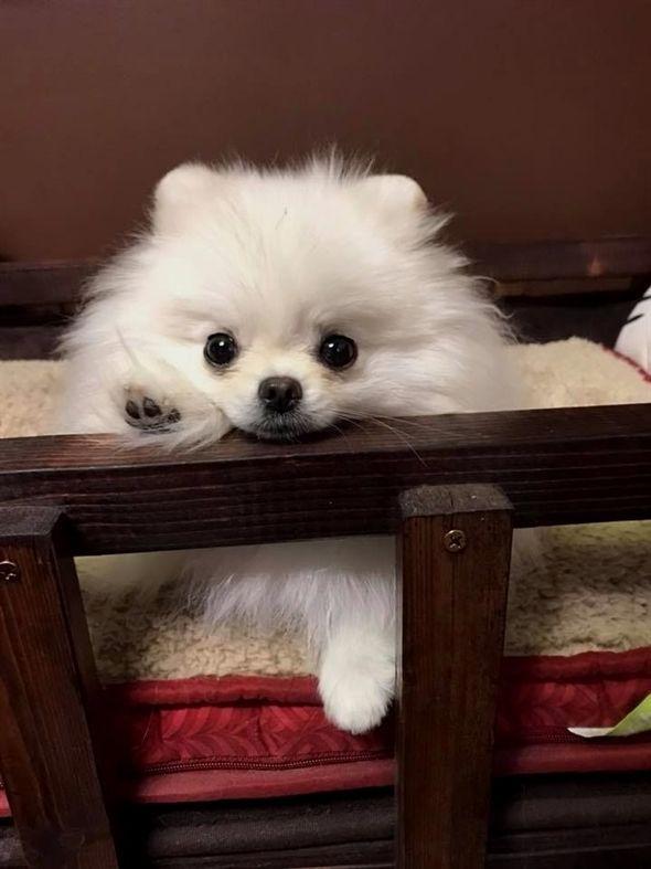 Pomeranian dog playing peekaboo #cute #animals #dogs