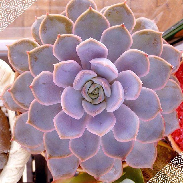 Purple succulent echeveria orion from Fractaline Terrarium's greenhouse