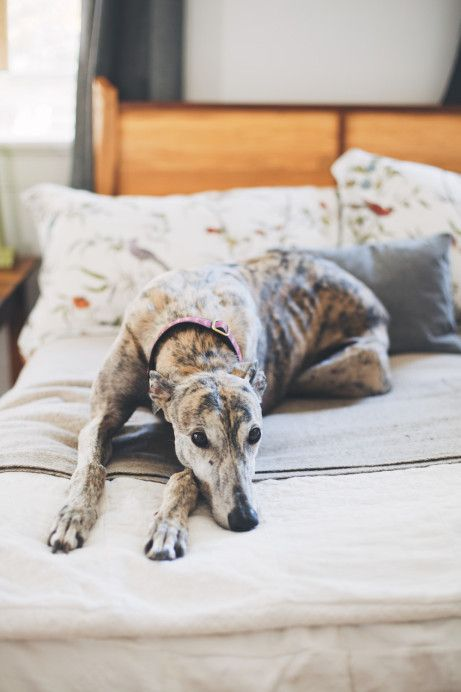 Greyhound on the bed. Freunde von Freunden. Home of Michael Moran and Celia Gibson in Charleston.
