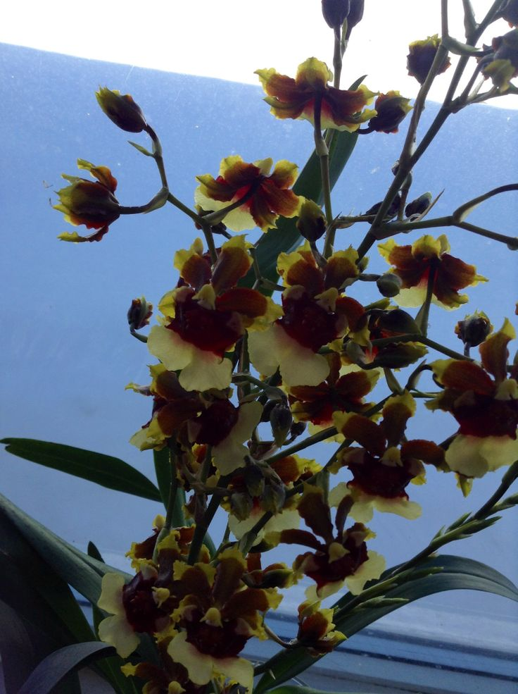 "Space Race ""Coco"" Oncidium Orchid"