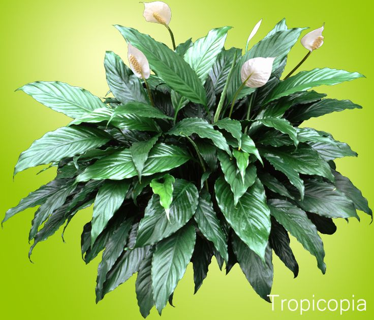 Peace Lily Plant - Spathiphyllum - Grow - Care - | HousePlant411.com | Houseplant 411 - How to Identify and Care for Houseplants
