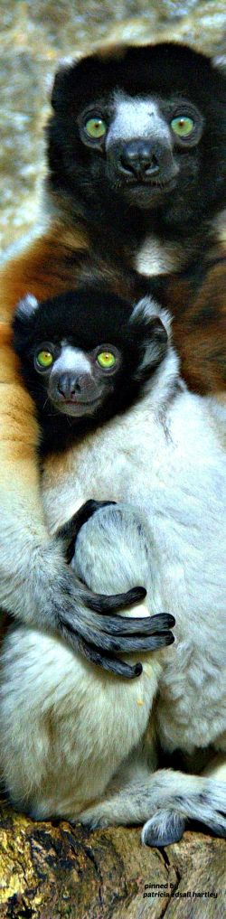 Momma and Baby Crowned Sifaka