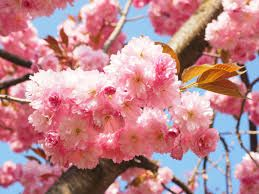 Image result for japanese cherry tree