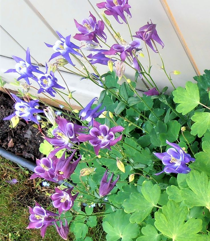 Blue  & purple Columbines