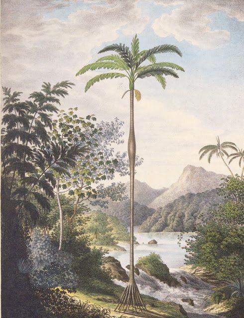 Olímpia Reis Resque: Viajantes: Paxiúba-barriguda , Cachoeirinha de Cupati; no primeiro plano, uma paxiúba-barriguda.  (C. Fr. von Martius. Genera et species palmarium).