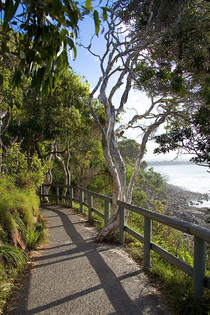 Noosa National Park, Australia. Koalas can be seen in the trees along this path, which commences at the end of the main street and boasts stunning views of the ocean. Here the koalas have prime real estate!