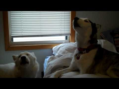 Two Playful Huskies Try to Out-Howl Each Other | Faith.com