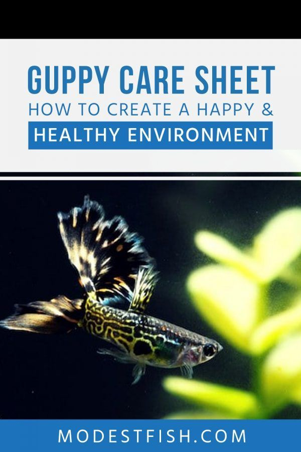 Guppy Care Sheet Your Definitive Guide On Housing Feeding Breeding