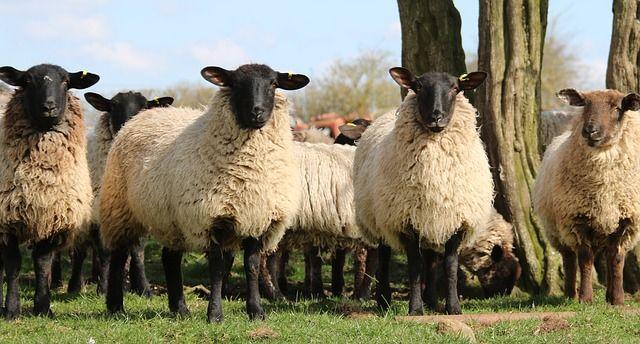 #green #pecore #italiani #comportamentiGreen #sostenibile #sheep #sheeps