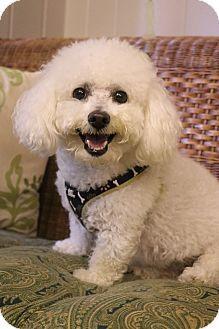 Southington, CT - Bichon Frise. Meet Paxton, a dog for adoption. http://www.adoptapet.com/pet/16283792-southington-connecticut-bichon-frise