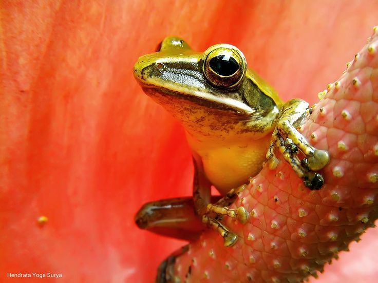 striped tree frog (katak pohon bergaris) by Hendrata Yoga Surya  on 500px