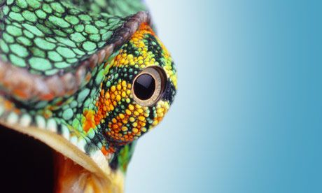 Eye quiz: A close-up view of an eye of a Chameleon