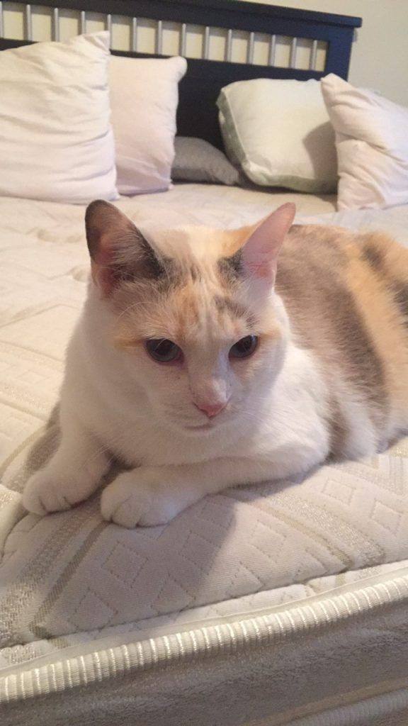 Amazing Facts You Should Know About Your Manx Cat The Cat Mama Mama Cat Cat Breeds Cat Facts