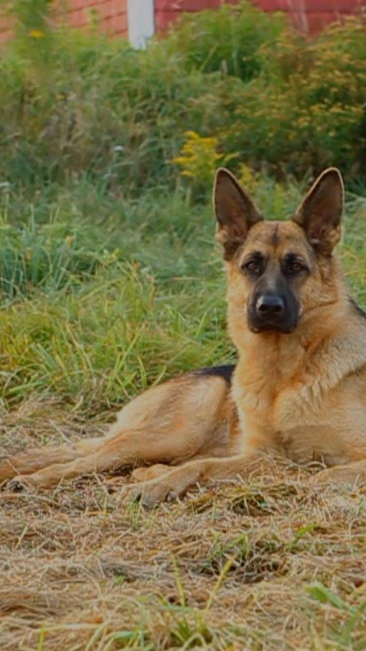 German Shepherd Names TOP Best List [Male, Female in 2020