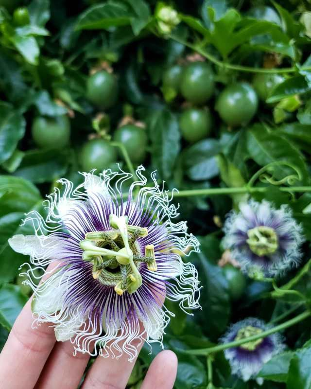 How To Grow Purple Passion Fruit Vs Maypops The Ultimate Guide Homestead And Chill Passion Fruit Plant Growing Passion Fruit Yellow Passion Fruit