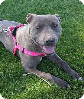 Kirkland, WA - American Staffordshire Terrier/American Pit Bull Terrier Mix. Meet Hazelnut - Wiggly Peanut!, a dog for adoption. http://www.adoptapet.com/pet/15245410-kirkland-washington-american-staffordshire-terrier-mix