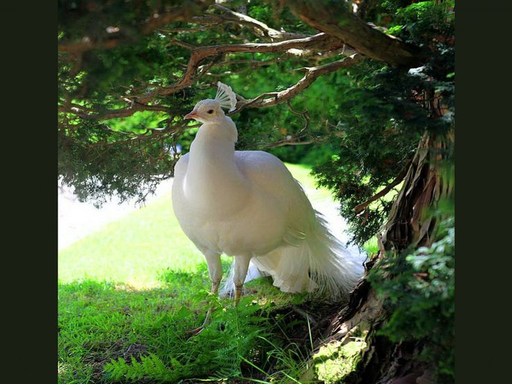 145 best PEACOCKS IN MAJESTY images on Pinterest   Exotic ...