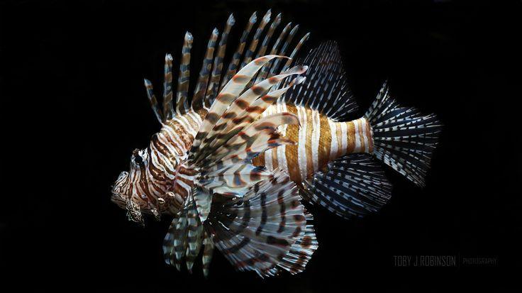 Lion Fish, Atlanta Aquarium.  Fish. Sea life. Underwater. Fins. Deadly. Dangerous. Venomous