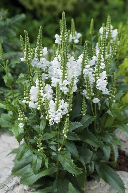 Drakmynta, Physostegia virginiana 'Crystal Peak White'  - Flora Linnea