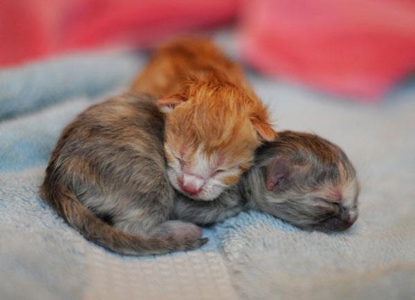 Cómo criar a un gatito que no tiene madre