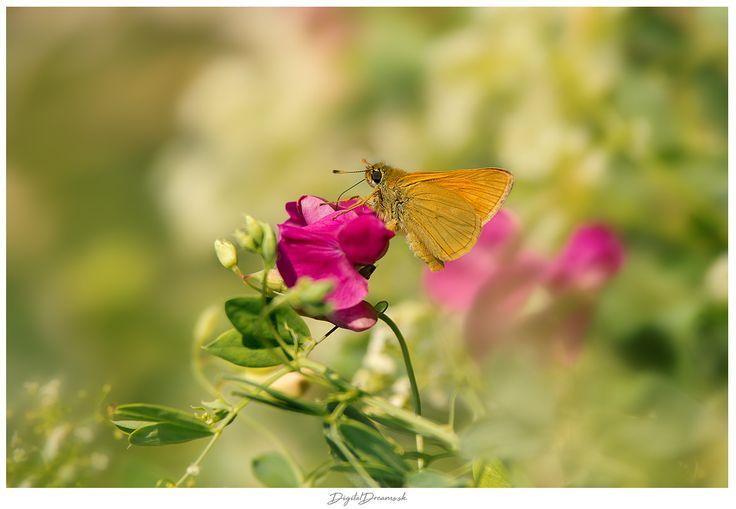 butterfly - Ochlodes sylvanus