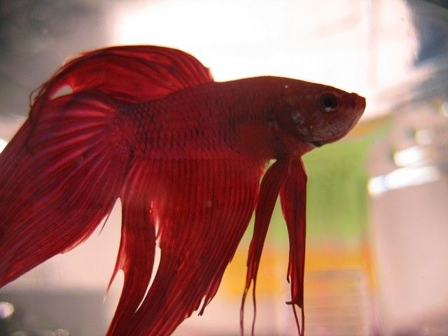 117 best images about beautiful fish on pinterest betta for How much does a betta fish cost