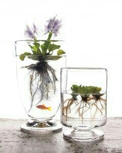 :: indoor plants :: water plants :: I would not put a goldfish in it, not enough space for a fish.