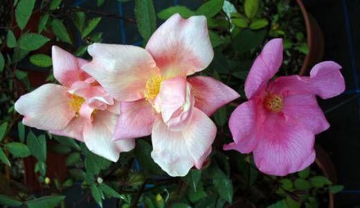 R.chinensis mutabilis. Una rosa cinese molto particolare. Fiori semplici sempre presenti, fioriscono in arancio per sfiorire in rosso. Molto rifiorente.