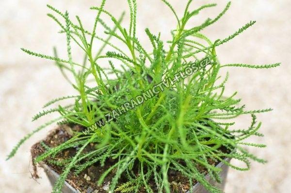 Santolina viridis 'Olivia'
