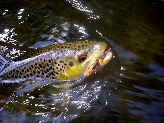 Michigan trout fishing on the manistee and pere marquette for Fly fishing michigan