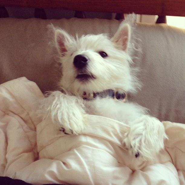 #westie #puppy #sleepy