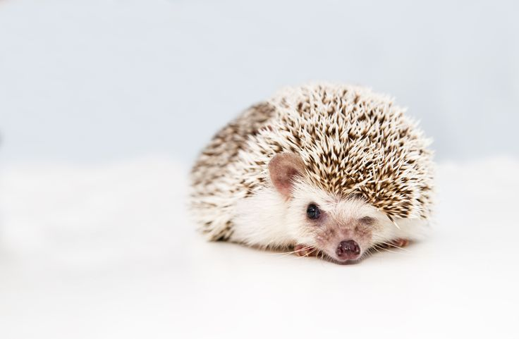 Hedgehog Names: Boy, Girl, Cute, & Funny