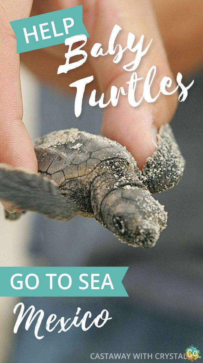 How to be a part of turtle releases in Mexico | When do sea turtles hatch in Cancun? | Turtle hatching season | Cancun turtle release | How to see turtle nesting Puerto Vallarta | Where to see turtles lay eggs in Tulum? Mazunte turtle season | How to see baby turtles hatch in Akumal | Liberacion de las Tortugas | #Mexico #turtle #nest #eggs #hatch #Cancun #Akumal #Mazunte #Tulum via @CastawayCrystal