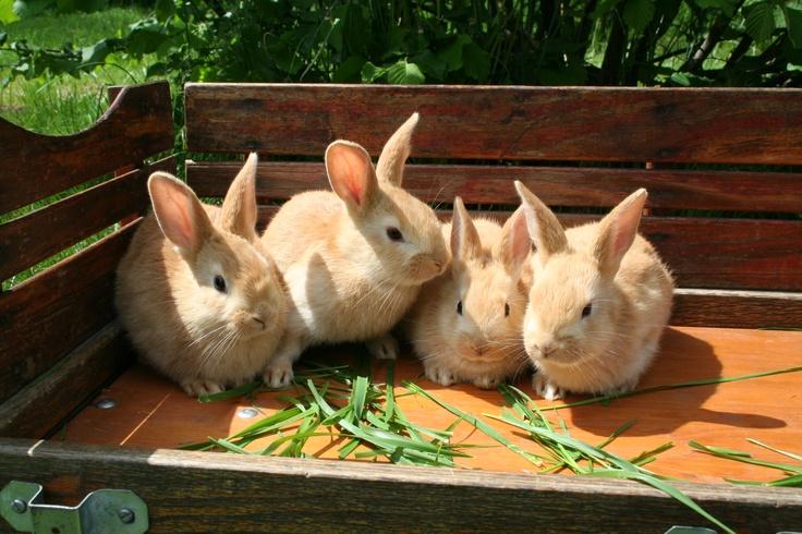 palomino rabbits - photo #15
