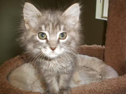 Tinker Domestic Long HairGray Maine Coon Cat Seattle