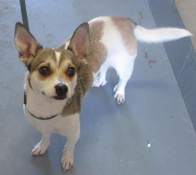 143752 - URGENT - PORTAGE COUNTY DOG WARDEN SHELTER in Ravenna, OH - ADOPT OR FOSTER - 1 year old Female Chihuahua/Terrier Mix