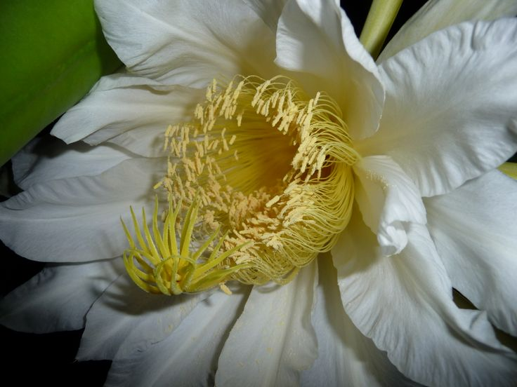 Close up .... Pitaya Flower