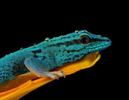 Electric Blue Gecko (Lygodactylus williamsi) Tanzania