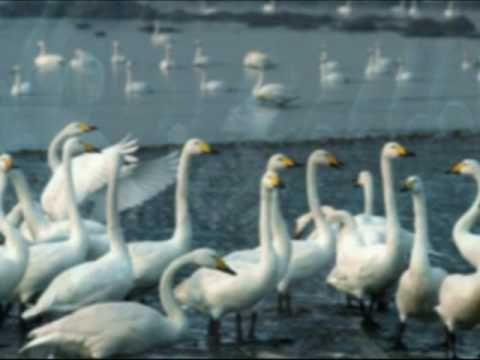 El Lago de los Cisnes - Chaikovski