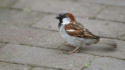 Stadsvogel gebruikt peuken in nest als parasietbestrijding