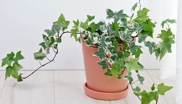 Pflanzen Furs Schlafzimmer Efeu Efeu Furs Pflanzen Schlafzimmer Schlafzimmerluft In 2020 Plants Planter Pots Home And Living